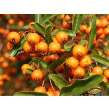 Feuerdorn 'Orange Glow', 40-60 cm, Pyracantha coccinea 'Orange Glow', Containerw