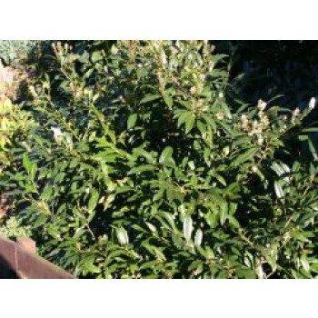 Schmalblättriger Kirschlorbeer 'Zabeliana', 30-40 cm, Prunus laurocerasus