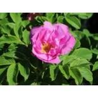 Bodendecker-Rose 'Foxi' , Rosa rugosa 'Foxi' , Containerware