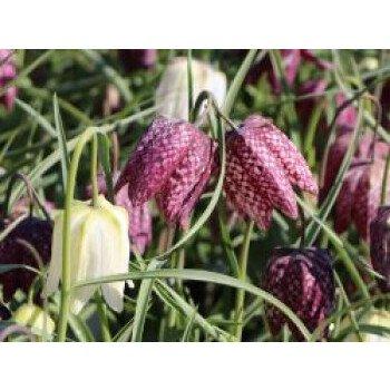 Schachbrettblume, Fritillaria meleagris...