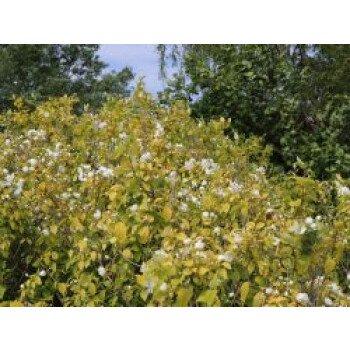 Gelber Europäischer Pfeifenstrauch 'Aureus' / Bauernjasmin 'Aureus', 10-20
