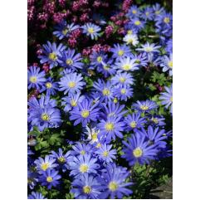 Anemone Blanda Blue Shade