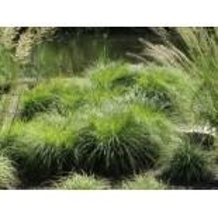 Berg-Segge, Carex montana, Topfware