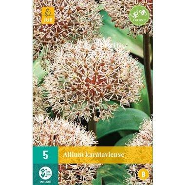 Allium Karataviense Zierlauch