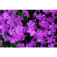 Polster-Phlox Purple Beauty Phlox subulata (Sechserpack)