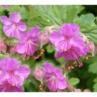 Balkan-Storchschnabel IngwersenâÂÂs Variety Geranium macrorrhizum