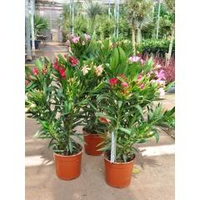 Oleander (3 farbig) 17er