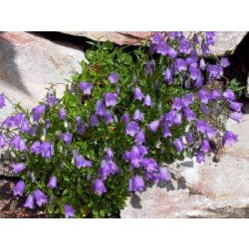 Zwerg-Glockenblume, Campanula cochleariifolia, Topfware