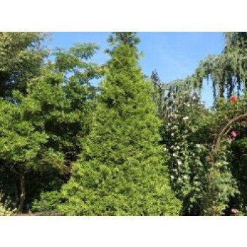 Goldspitzen Lebensbaum 'Aurescens', 40-60 cm, Thuja plicata 'Aurescens'