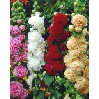 Stockrose Mix Alcea Rosea (3 Pflanzen)