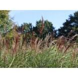Chinaschilf 'Red Chief', Miscanthus sinensis 'Red Chief', Topfware