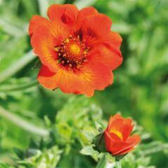 Fingerstrauch 'Potentilla Red Ace'