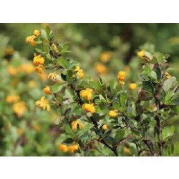 Grüne Polster-Berberitze 'Nana', 20-25 cm, Berberis buxifolia 'Nana'