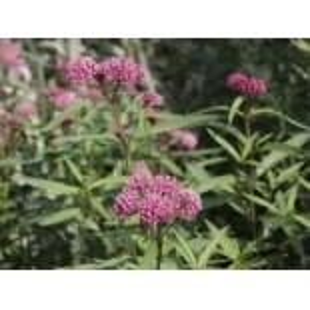 Rosablühende Seidenpflanze, Asclepias...