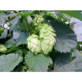 Hopfen 'Northern Brewer', Humulus lupulus 'Northern Brewer', Containerware