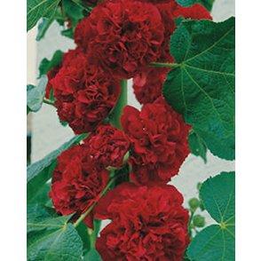 Stockrose Rot (Alcea rosea)