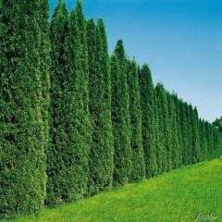 Lebensbaum 'Smaragd' - 30 Pflanzen 80 - 100 cm hoch für 15 Meter Hecke bei Garten-Schlueter.de