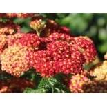 Schafgarbe 'Summer Fruits Carmine', Achillea millefolium 'Summer Fruits