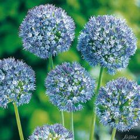 Allium 'Blue Heaven' 15 Stück