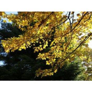 Feldahorn / Maßholder, 80-100 cm, Acer...