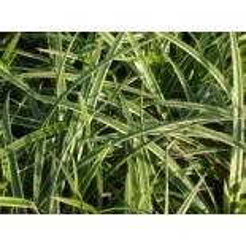Weißbunte Japan Segge 'Variegata', Carex morrowii 'Variegata', Topfware