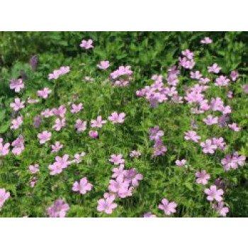 Oxford Garten Storchschnabel 'Rose Clair', Geranium x oxonianum 'Rose Clair'