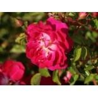 Bodendecker-Rose 'Lipstick', Rosa 'Lipstick' ADR-Rose, Wurzelware
