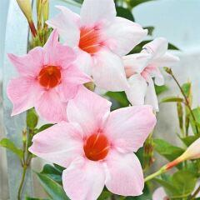 Mandevilla 'Sundaville Classic Cream Pink'