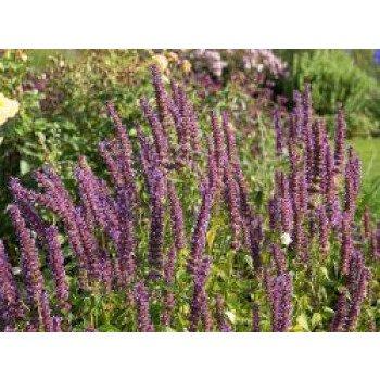 Anis-Duftnessel 'Purple Haze' , Agastache...