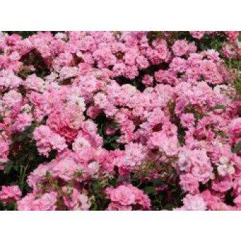 Bodendecker-Rose 'Mirato' , Rosa 'Mirato' ADR-Rose, Containerware