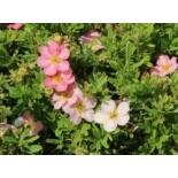 Fingerstrauch 'Pink Lady', 20-30 cm, Potentilla fruticosa 'Pink Lady'