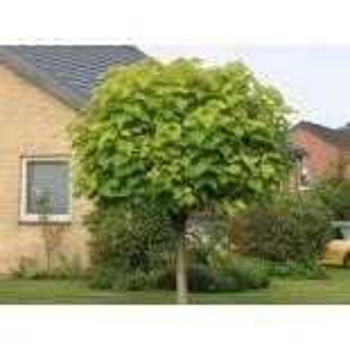 Kugel-Trompetenbaum 'Nana', Stamm 110-125...
