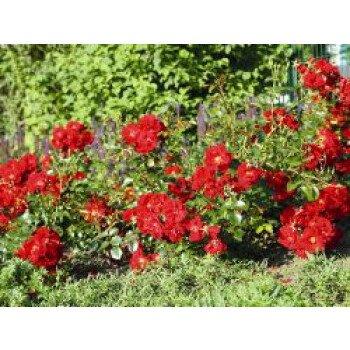 Bodendecker-Rose 'Matador' , Rosa 'Matador'...