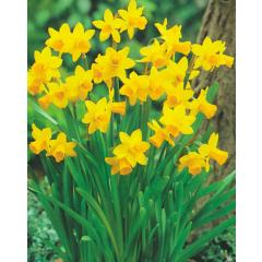 Narzisse Tete a Tete - Narcissus