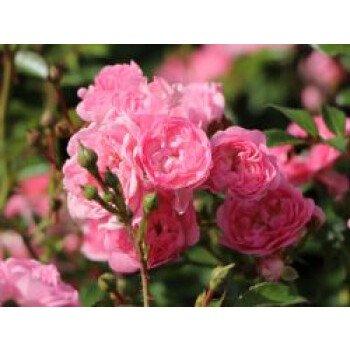 Bodendecker-Rose / Beetrose 'The Fairy', Rosa 'The Fairy', Topfware