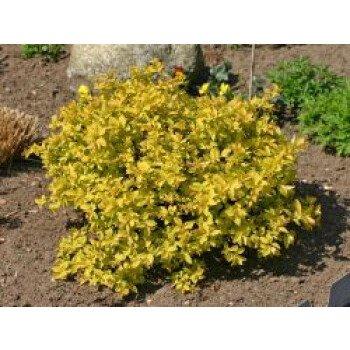 Gelbe Zwergspiere / Japanspiere 'Golden Princess', 15-20 cm, Spiraea japonica