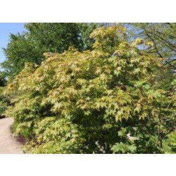 Japanischer Fächerahorn 'Osakazuki', 40-60 cm, Acer palmatum 'Osakazuki'