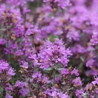 Teppichthymian (Thymus praecox 'Pseudo-lanugi...