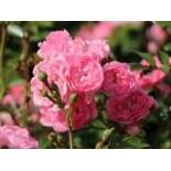 Bodendecker-Rose / Beetrose 'The Fairy', Rosa 'The Fairy', Wurzelware