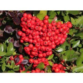 Feuerdorn 'Red Cushion', 30-40 cm, Pyracantha 'Red Cushion', Containerware