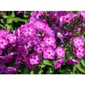 Hohe Flammenblume 'Purple Kiss', Phlox paniculata 'Purple Kiss', Topfware