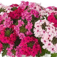 Verbene 'Vectura Trio Pink Summer'