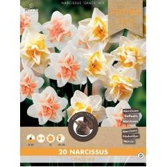 Narzisse Grace Mischung - Narcissus