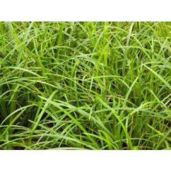 Grünblättrige Segge 'Irish Green', Carex foliosissima 'Irish Green', Topfware
