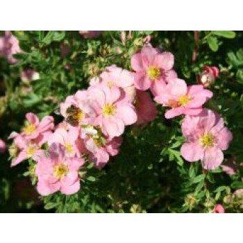Fingerstrauch / Potentille 'Lovely Pink', 20-30 cm, Potentilla 'Lovely