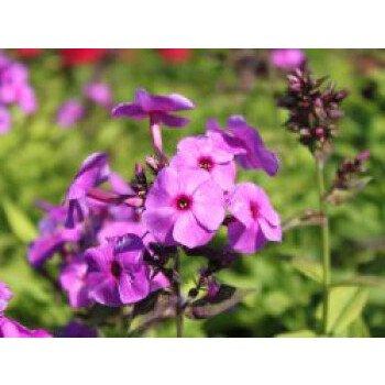 Hohe Flammenblume 'Purple Paradise'...