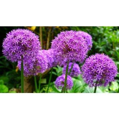 Allium Giganteum Riesen-Lauch