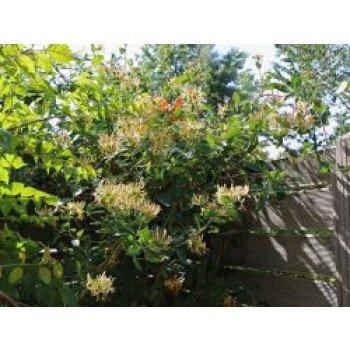 Wald-Geißschlinge / Wald-Geißblatt, 60-100 cm, Lonicera periclymenum