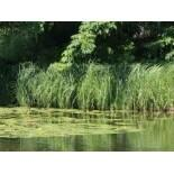Sumpf Segge, Carex acutiformis, Topfware