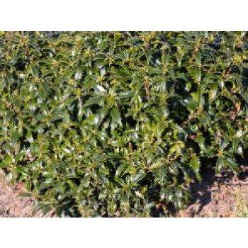 Stechpalme 'Heckenzwerg' , 15-20 cm, Ilex aquifolium 'Heckenzwerg' , Containerw